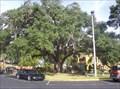 Image for The Old Senator Quercus Virginiania
