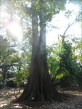 Image for Tallest  --  Panama Tree in Florida  - Davie, FL
