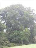 Image for Merley Oak Tree - Merley, Near Wimborne Minster, Dorset, UK