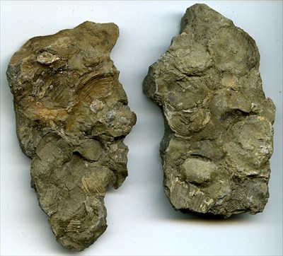 Instead of a rock hammer you might want to bring a dental pick because the fossil layers can be quite thin and delicate. Beds of brachiopods are very common.