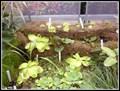 Image for Masožravé rostliny v Botanické zahrade PrF MU - Brno, Czech Republic