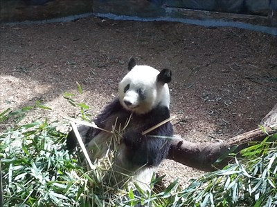 That's one hungry panda!