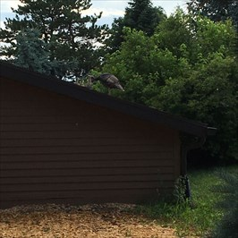Turkey hen and chicks roosting on the roof of the office.