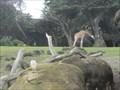 Image for Giraffes at the San Francisco Zoo  - San Francisco, CA