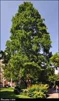 Image for Metasequoia glyptostroboides - Inner Temple Garden  (London, UK)