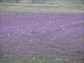 Image for Purple Henbit Field - Belleville, Illinois