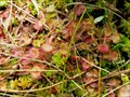 Image for Carnivorous plants in SOOS, Czech Republic