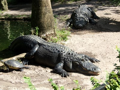 Lord Abercrombie visited Busch Gardens - Alligator.