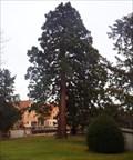 Image for Séquoiadentron Giganteum, Riquewihr, Haut-Rhin/FR