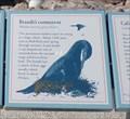 Image for Brandt's Cormorant  #3  -  Pebble Beach, CA