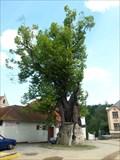 Image for OLDEST - tree of  Zlatá Koruna, Zlatá Koruna, okres Ceský Krumlov, CZ