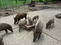 Image for Feeding the Wild Boars - Wildparadies Tripsdrill - Cleebronn, Germany, BW