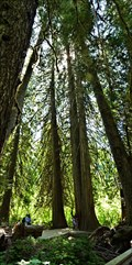 Image for Grove of the Patriarchs Trail - Mt Ranier National Park - Packwood, WA