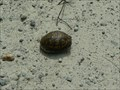 Image for Box Turtle Crossing @ The Settles Bridge Unit Of The Chattahoochee National Recreation Area - Suwanee, GA