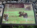 Image for Shiras Moose - Evanston, Wyoming