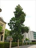 Image for Kalifornischer Mammutbaum (Kreisverwaltung) Ahrweiler - RLP/ Germany