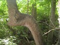Image for Native American Trail Tree - Kingsport, Tennessee.
