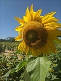 Image for Sunflowers - Maria's Field of Hope - Avon, OH
