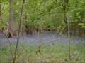 Image for Bluebells - Great Odell Woods, Bedfordshire, UK