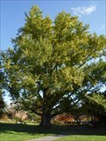 Image for Massachusetts Champion Ginkgo Biloba - Northampton, MA
