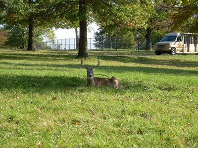 White-tailed deer, aka Virginia Deer