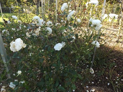 Closer view of some of the roses. Friday, 13 May, 2016