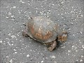 Image for Eastern Box Turtle Crossing - Belleville, Illinois