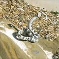 Image for Prairie Rattlesnake - Buffalo, SD
