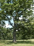 Image for Morton Arboretum Millennium Tree