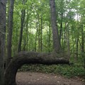Image for Maidstone Conservation Area - Native American Trail Tree, Ontario, Canada