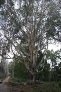 Image for Eucalyptus globulus Labil, Tremelgo, Leiria, Portugal