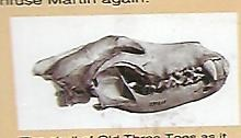 The skull of Three Toes as it appears in the Smithsonian Institute.