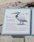 Image for Brown Pelican  -  Pebble Beach,CA