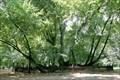 Image for Bzenecká lípa / Bzenec lime tree