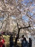 Image for Cherry Blossom Trees - Washington, DC