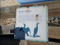 Image for Brandt's Cormorant  -  Pebble Beach, CA