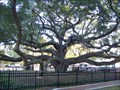 Image for OLDEST - Living Live Oak in Pinellas County
