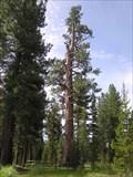 Image for Big Tree at La Pine State Park, Oregon