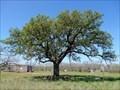 Image for Heart O'Texas Oak Tree - Mercury, TX