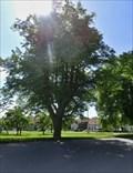 Image for Tree of the republic - Topol, Czech Republic