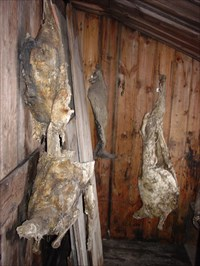 Seal carcasses inside the hut.