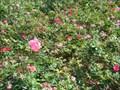 Image for Rose Garden - Evergreen Cemetery - Jacksonville, Florida