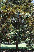 Image for Confederate Magnolia -- Oakland Cemetery, Atlanta GA