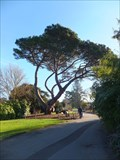 Image for FIRST - Stone Pine - Kew Gardens, London, UK