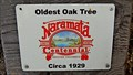 Image for OLDEST - Oak Tree in Naramata, BC
