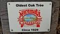 Image for OLDEST - Oak Tree in Naramata, BC