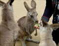 Image for Feed the Kangaroos -  Koala Park - West Pennant Hills, Australia
