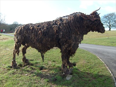 Black Angus - National Botanic Gardens of Wales.