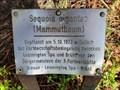 Image for Mammutbaum am Partnerschaftsweg - Brühl, NRW, Germany