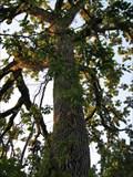 Image for Bur Oak - Big Oak Tree State Park - Missouri